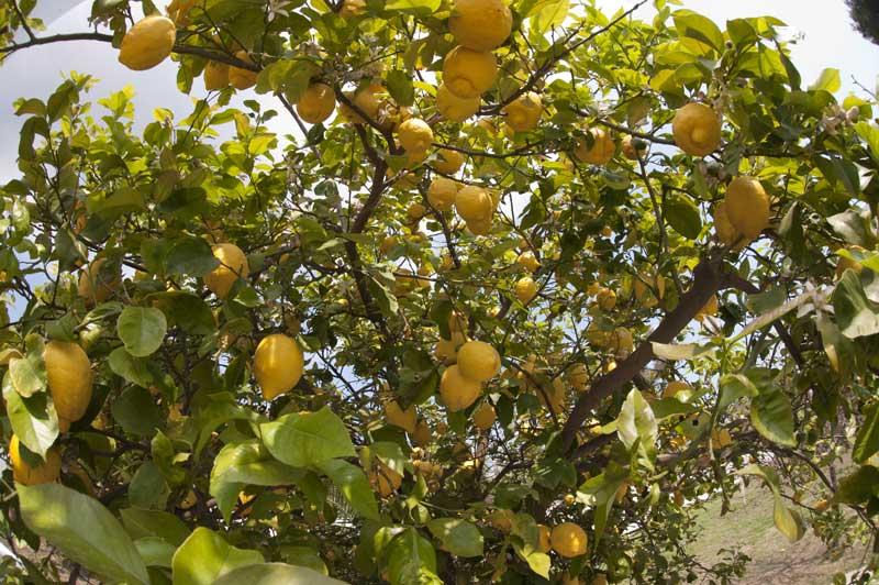 L'albero di limoni